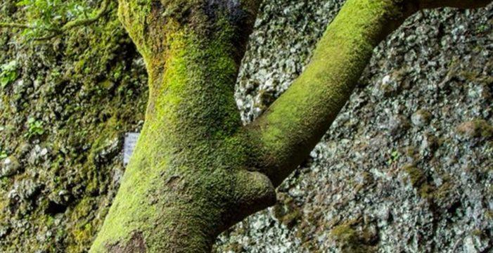 Un árbol sagrado, una mancha y redes sociales: así fue la alarma del Garoé