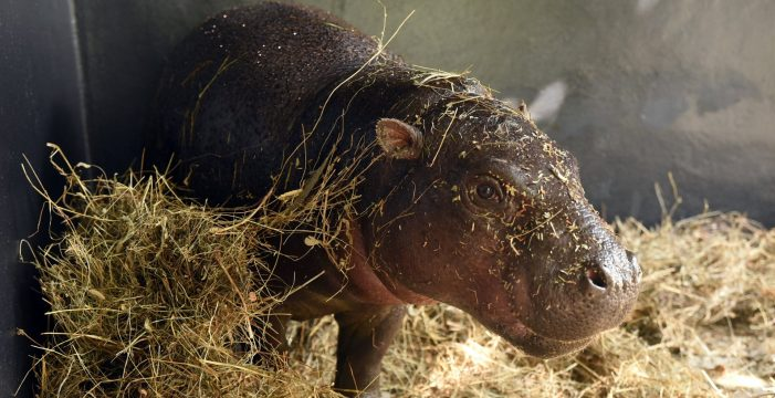 Loro Parque recibe a Adela y Malela, dos Hipopótamos Pigmeos llegados de Alemania y República Checa