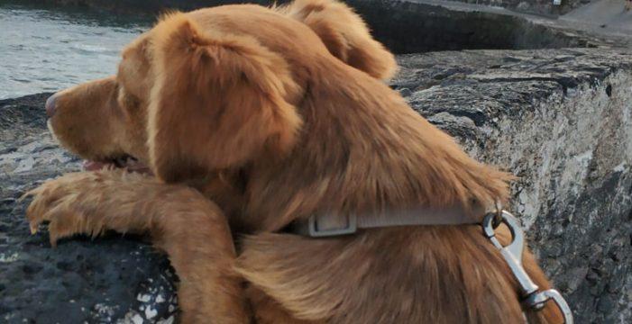 De callejera a 'jefa de obra' en el Puerto de la Cruz: la conmovedora historia de esta perra que busca un hogar