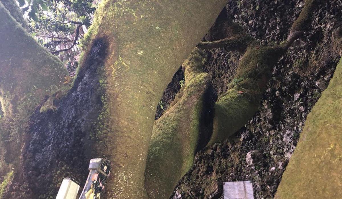 Imagen de la mancha negra en el árbol Garoé. | Cabildo de El Hierro