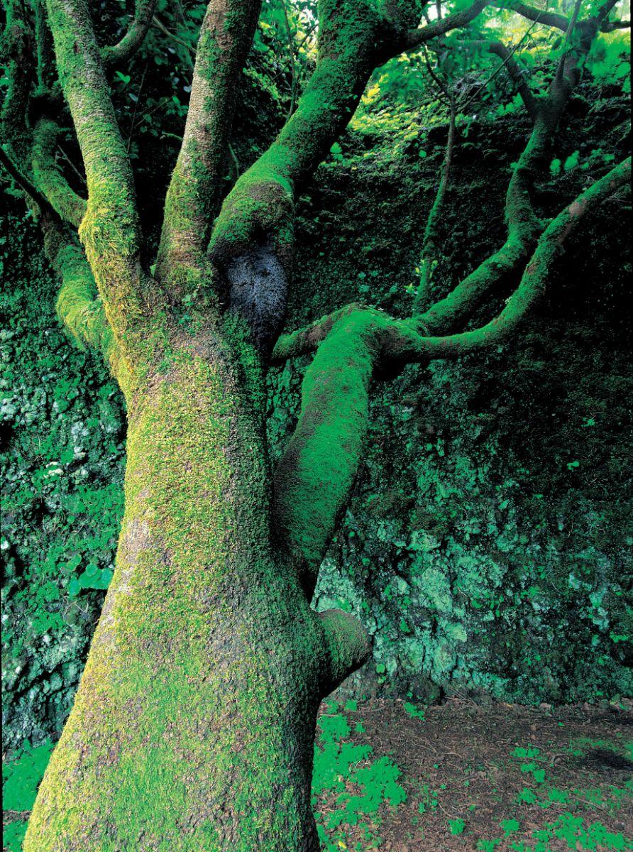 Imagen del árbol Garoé tomada por José Manuel Moreno. / CEDIDA JOSÉ MANUEL MORENO