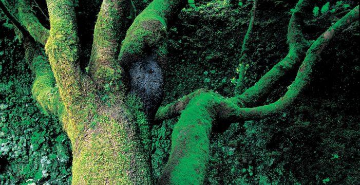 """Un biólogo resuelve la misteriosa mancha aparecida en el árbol Garoé: """"Es extraño que no se dieran cuenta"""""""