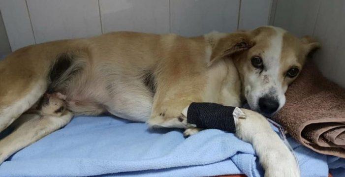 Harper, el perro atropellado en el Sauzal, evoluciona favorablemente a la espera de un TAC