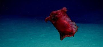 Logran grabar al 'monstruo del pollo sin cabeza', una misteriosa criatura del mar profundo