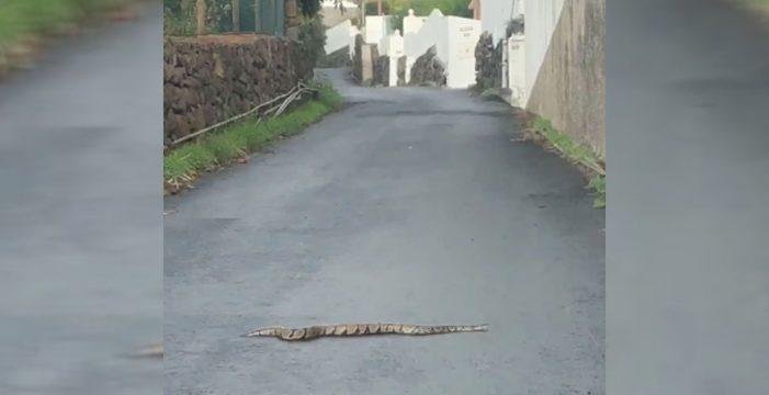 Avistan una serpiente pitón reptando por una carretera de La Palma