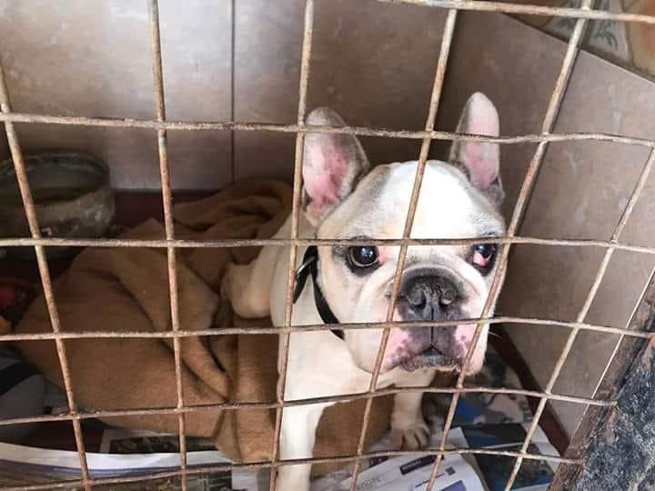 La increíble historia de Cholo, el bulldog francés que se reencontró con su dueña tras 10 años desaparecido en Tenerife. / FACEBOOK