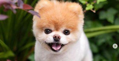 """Boo, """"el perro más mono del mundo"""", muere a los 12 años"""
