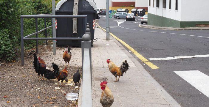 La Policía podrá multar a quienes alimenten a los gallos y gallinas en La Verdellada