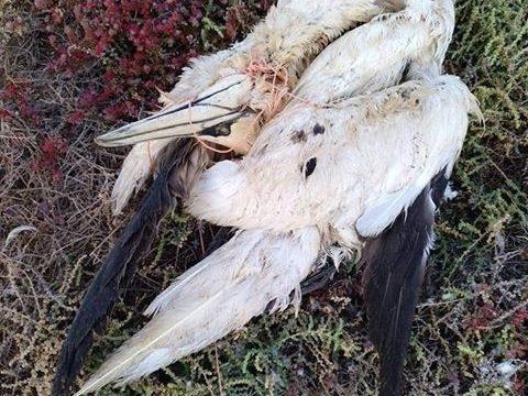 La pardela cenicienta, ave marina más amenazada en Canarias por el plástico