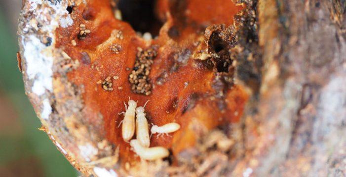 La plaga de termitas empieza a afectar a la viña y a plantas vivas
