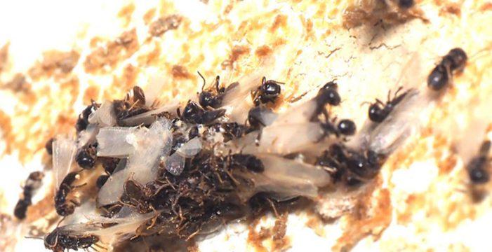 Todas las administraciones han incumplido las medidas adoptadas para combatir las termitas