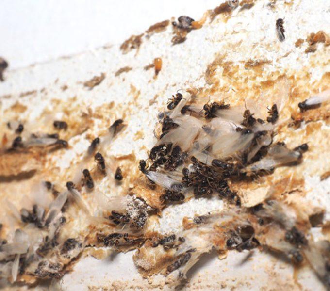 Las termitas subterráneas avanzan con rapidez y llegan a El Pris