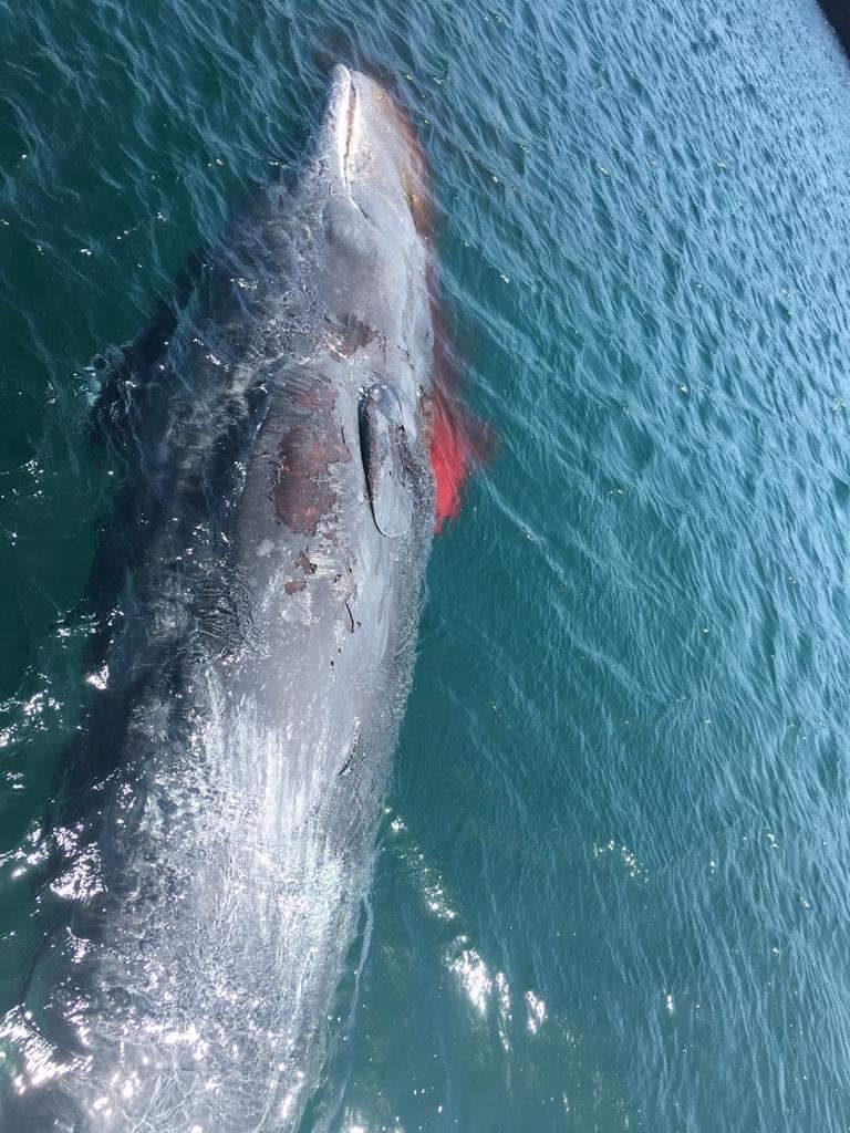 Cachalote muere desangrado en la costa de Telde (Gran Canaria)| DA