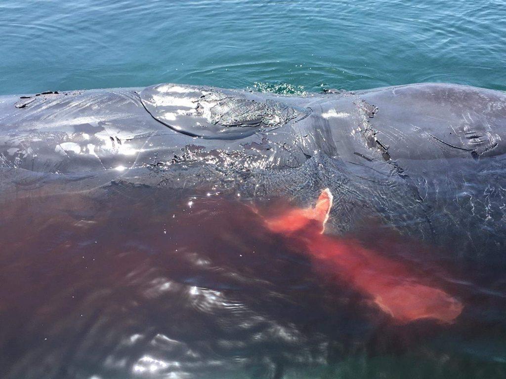 Cachalote muere desangrado en la costa de Telde| DA