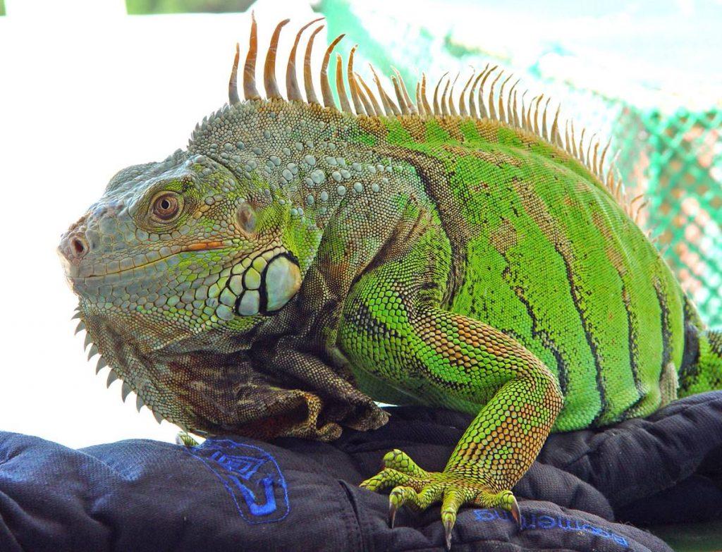 Iguana común| DA