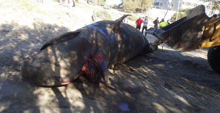 Retiran el cadáver del cetáceo encontrado en El Médano