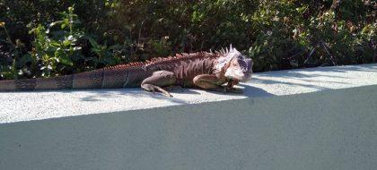 Una iguana anda suelta por Arafo