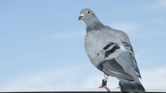 Una paloma mensajera 'vuela' desde el sur de Tenerife hasta Finlandia