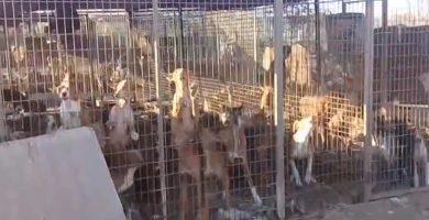 Perros comiendo sus propios excrementos y atados con cuerdas: el terrible vídeo denuncia de PACMA en Canarias