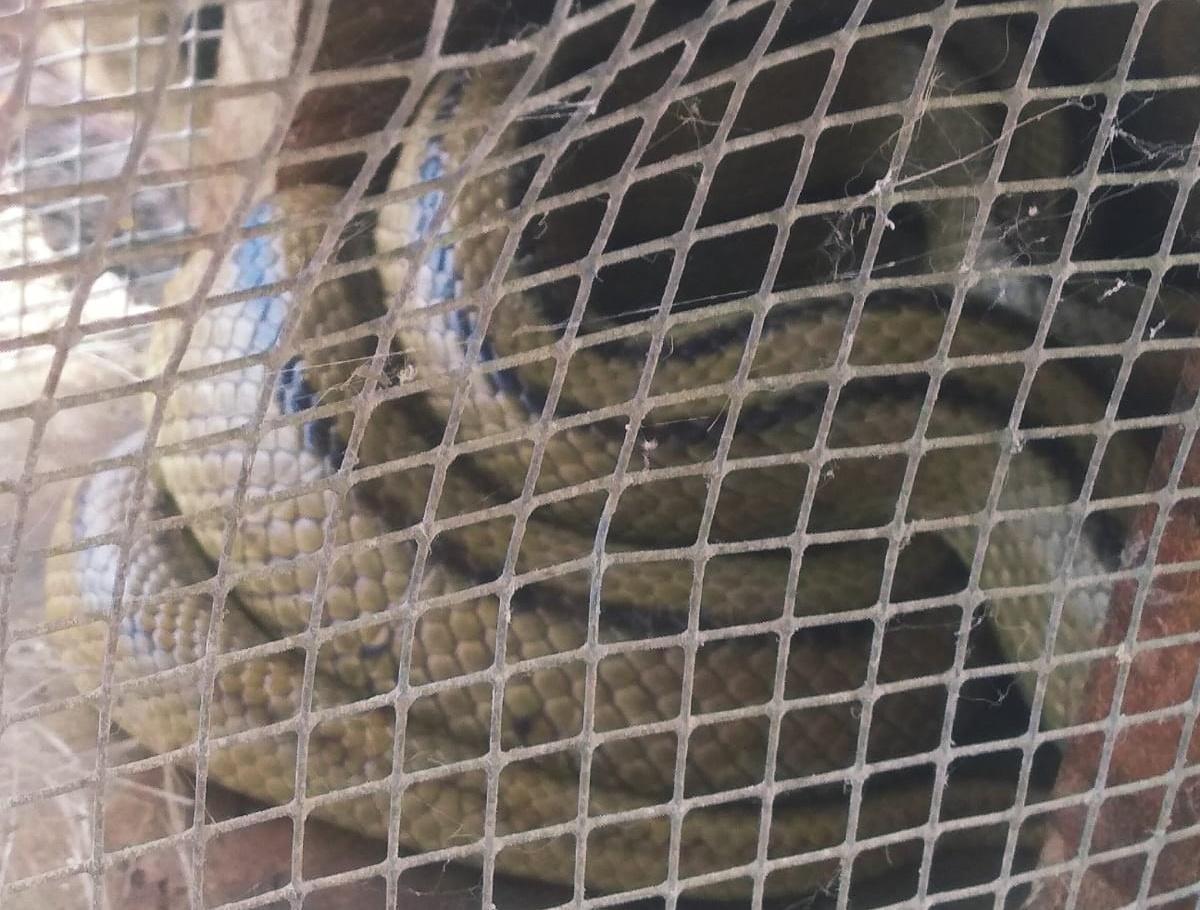 Serpiente hallada en Tacoronte. DA