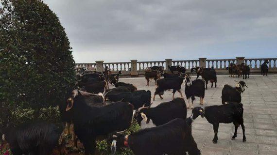 Cabreros de Los Realejos provocaron ayer un caos en el centro del municipio