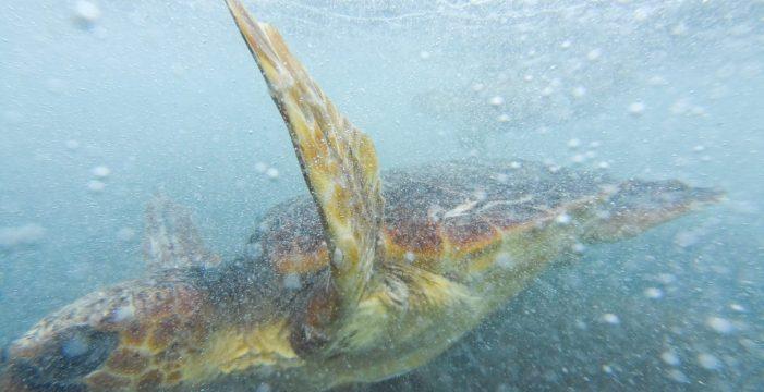 Loro Parque realiza una suelta de tortugas y una limpieza de plástico por el Día de los Océanos