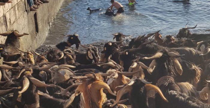 Las cabras 'toman' el muelle para revivir la tradición purificadora de San Juan