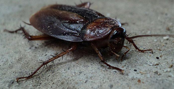 """""""Muchas de ellas pueden salir a la vía pública"""": una plaga de cucarachas obliga a fumigar el Puertito de Güímar"""