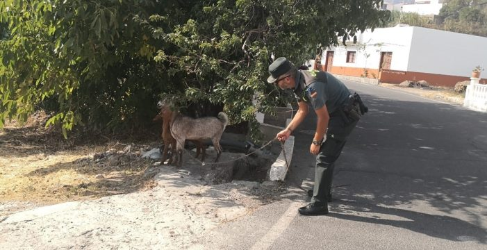 VÍDEO La Guardia Civil y la Policía Local de Artenara salvan casi a un centenar de animales