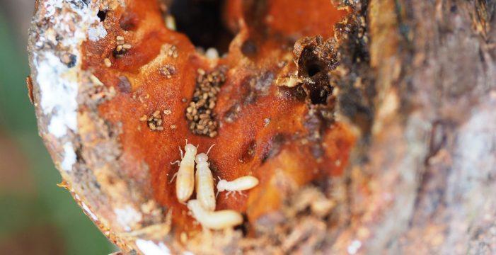 El Cabildo 'toma las riendas' con las termitas