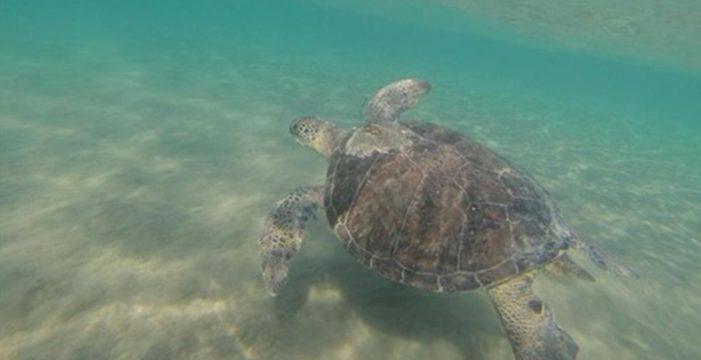 Las tortugas verdes comen plástico porque lo confunden con algas