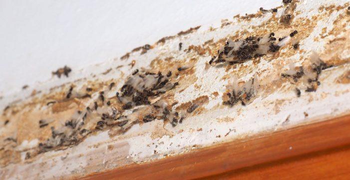 Crean un grupo en Facebook para concienciar sobre las termitas subterráneas