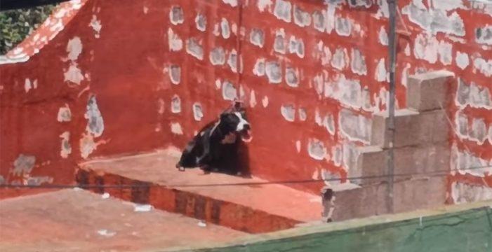 El sufrimiento de un perro atado a pleno sol y sin agua en una azotea en Tacoronte