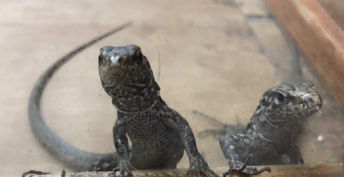 Nacen 105 ejemplares este verano del lagarto gigante de El Hierro