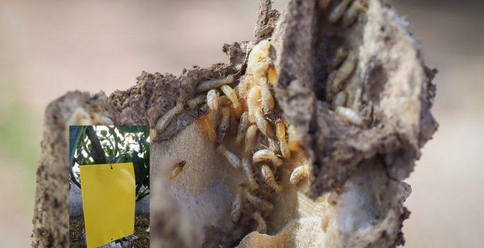 Tacoronte colocará láminas adhesivas en las calles para combatir las termitas
