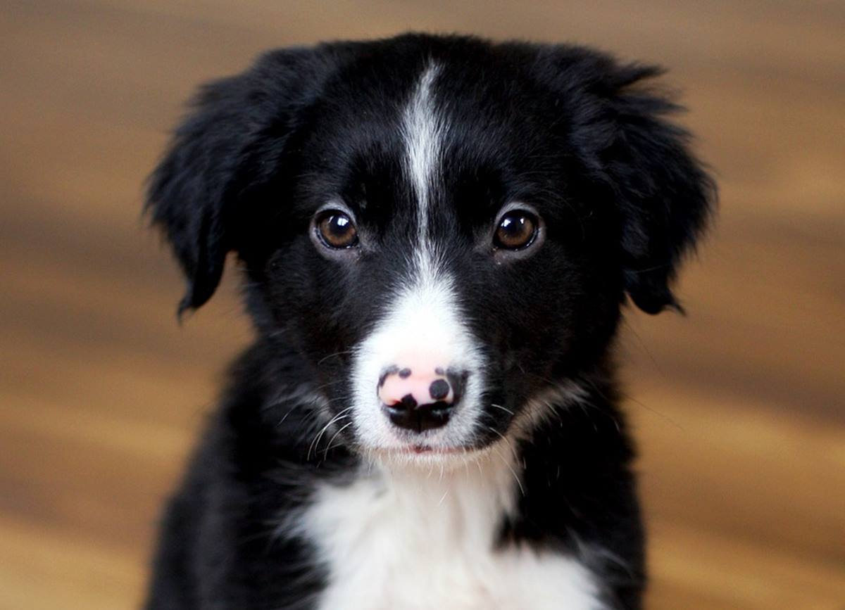 Border Collie. Foto de archivo, Pixabay