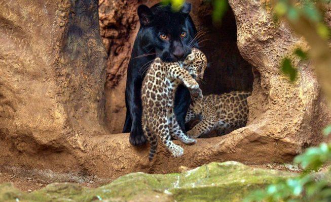 Nacen mellizos de jaguar en el Loro Parque