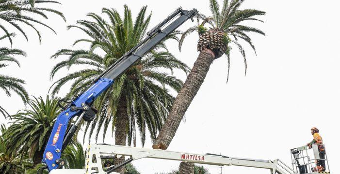Comienza el proceso de sustitución de 16 palmeras en el Camino Largo
