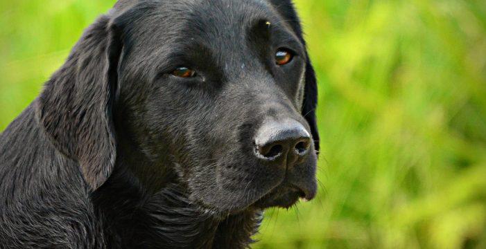 Roban a punta de pistola una perra preparada para ayudar a una niña con discapacidad
