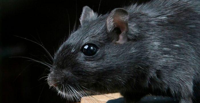 La plaga de rata negra en Tenerife llega hasta 'Equipo de Investigación' de La Sexta