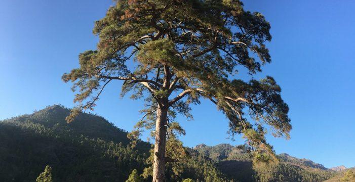 Cinco árboles en Canarias con misterio