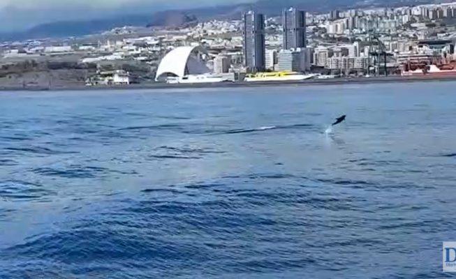 Delfines en Santa Cruz: la naturaleza ocupa el espacio dejado por los humanos en cuarentena