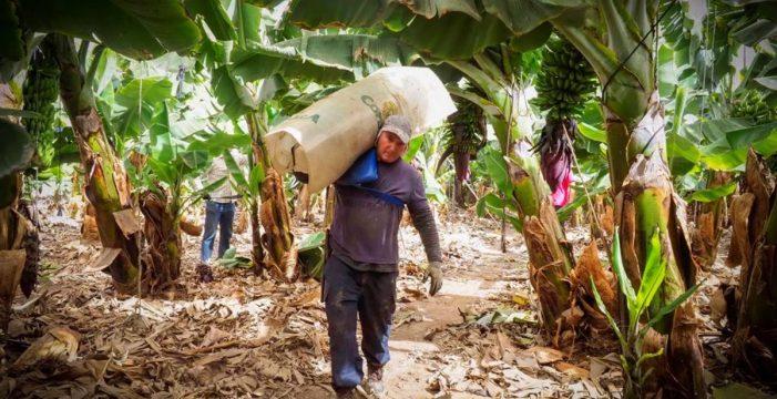 Los cubanos que cuidan del plátano canario