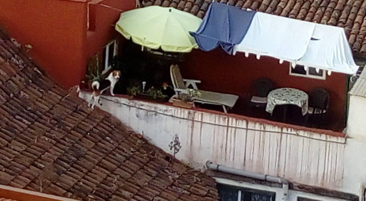 El perrito que campa a sus anchas por los tejados de La Laguna. DA