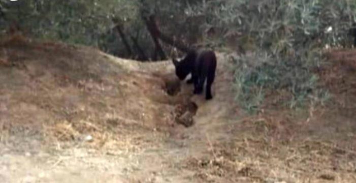 La pantera negra suelta en Granada resultó ser… un gato grande