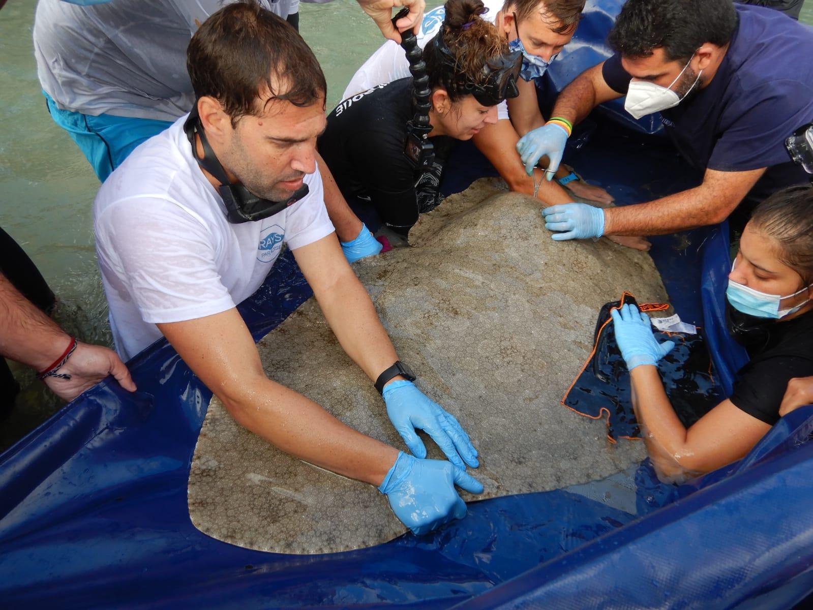 Investigadores realizan en Canarias en el primer marcaje acústico de mantelinas del mundo. Moisés Pérez