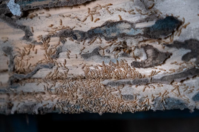 Los próximos meses se realizará una campaña para trasladar a los vecinos cómo actuar ante la termita. FOTO: Fran Pallero