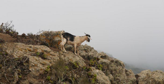 Las cabras siguen campando a sus anchas en Anaga