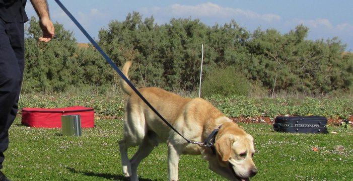 Probarán perros adiestrados para detectar la covid-19