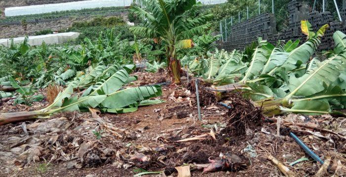 El campo palmero sufre las fuertes lluvias y vientos de más de 80 kilómetros hora